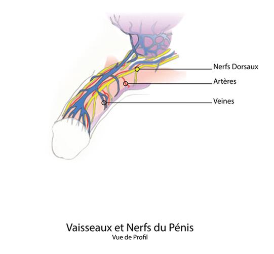 penoplastie